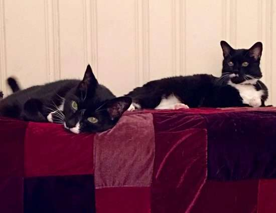 two tuxedo cats lounging together