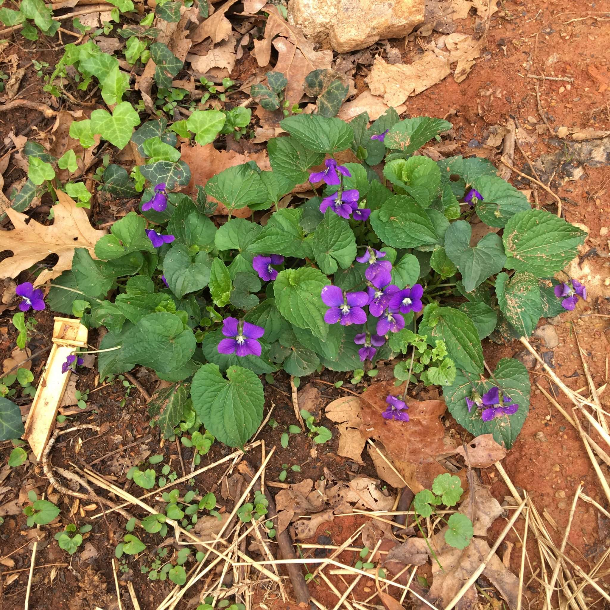 spring violets blooming in barren red clay